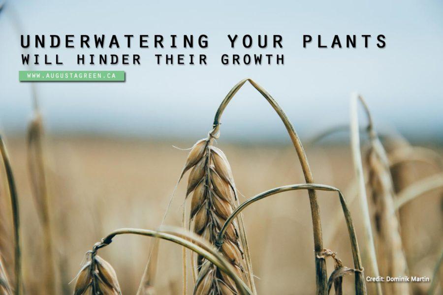 underwatering your plant