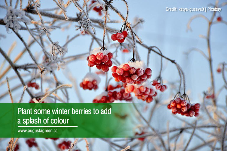 Plant some winter berries to add a splash of colour